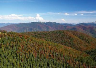 Рис. 5. Лесной массив сосны скрученной в провинции Британская Колумбия, поврежденный в результате вспышки размножения соснового лубоеда