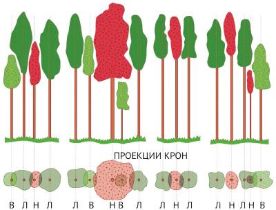 Рис. 2. Классификация деревьев для отбора в рубку ухода [8] Л – лучшие; В – вспомогательные; Н – нежелательные