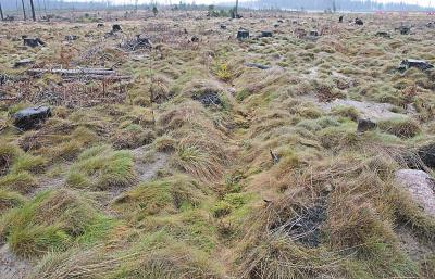 3. Типичный результат неправильно выбранной технологии лесовосстановления и некачественной посадки: абсолютное большинство высаженных сеянцев погибли