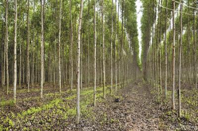 Рис. 2. Традиционная плантация эвкалипта в Таиланде