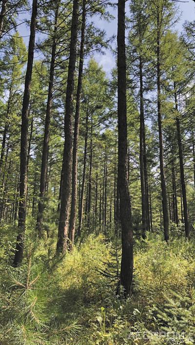 Рис. 4. Реализация в Муланском лесничестве подхода close-tonature: управление лесами с учетом принципов естественной лесной динамики