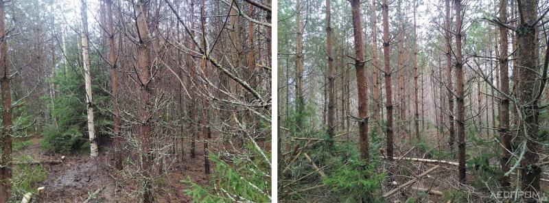 Рис. 1. Сосняк до и после рубки прочистки по нормативам рубок ухода для ведения интенсивного лесного хозяйства