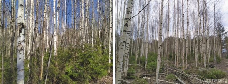 Рис. 2. Березняк до и после рубки прочистки по нормативам рубок ухода для ведения интенсивного лесного хозяйства