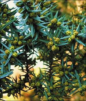 Можжевельник кедровый (juniperus cedrus)