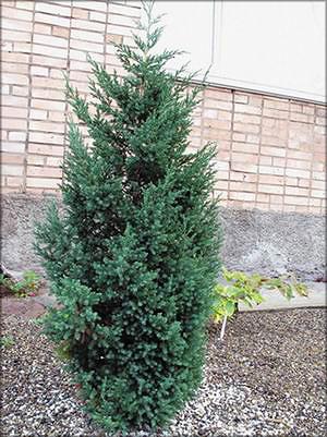 Можжевельник китайский (juniperus chinensis)