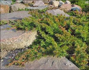 Можжевельник прибрежный (скученный) (juniperus conferta)