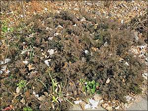 Можжевельник даурский (juniperus davurica)
