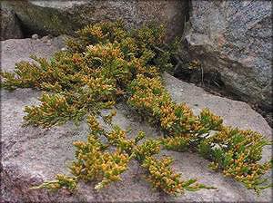 Можжевельник распростертый (juniperus horizontalis)