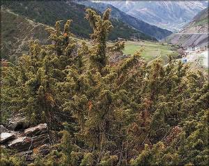 Можжевельник длиннослистный (juniperus oblonga)