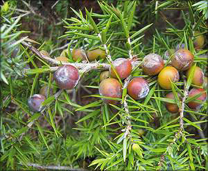 Можжевельник красный (juniperus oxycedrus)