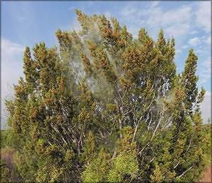 Можжевельник Пинчота (juniperus pinchotii)