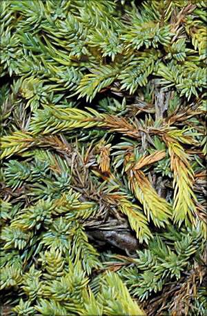 Можжевельник лежачий (juniperus procumbens)