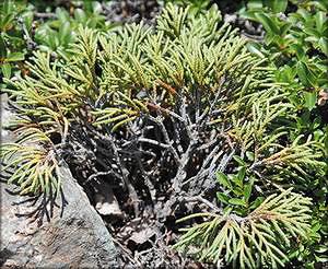 Можжевельник ложноказацкий (juniperus pseudosabina)