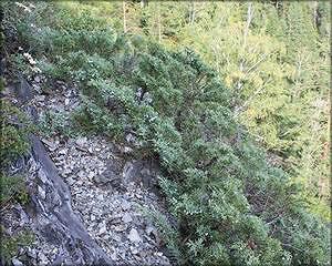 Можжевельник казацкий (juniperus sabina)