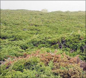 Можжевельник Саржента (juniperus sargentii)