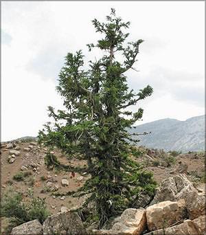 Можжевельник зеравшанский (juniperus serav-schanica)