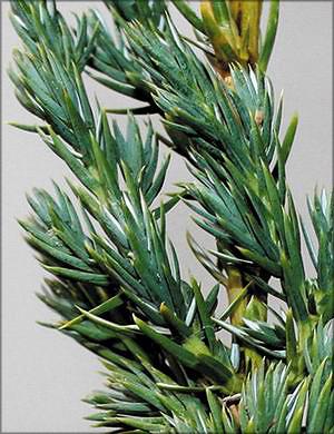 Можжевельник чешуйчатый (juniperus squamata)