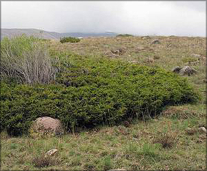 Можжевельник туркестанский (juniperus turkestanica)