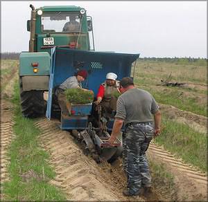 Посадка сеянцев сосны в Белокалитвенском районе