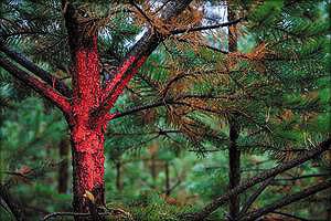 Деревья, отмеченные красной краской, – низкокачественные, с аномальным ростом, предназначенные для первой некоммерческой рубки
