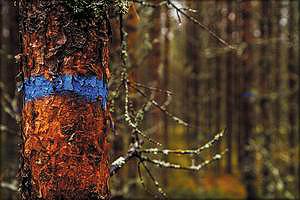 Деревья, отмеченные синей краской, – потенциальный прирост