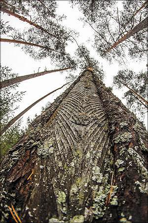 Результат подсочки деревьев
