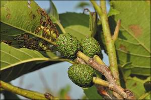 Ольха японская (Alnus japonica)