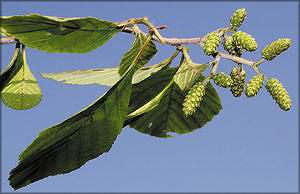 Ольха морщинистая (Alnus rugosa)