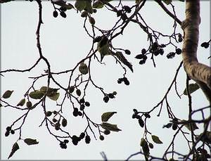 Ольха кольская (Alnus kolaensis)