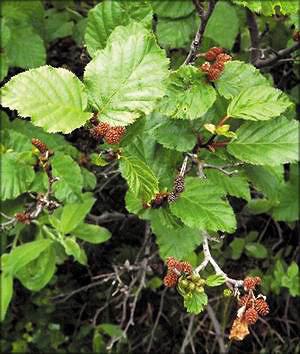 Ольха кустарниковая (Alnus fruticosa)