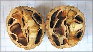 Орех мелкоплодный