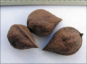 Орех айлантолистный, или орех Зибольда