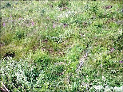 Рис. 5. Приемлемая высота молодняка для проведения работ по удалению нежелательной растительности с корнем составляет около 1 м. Снимок сделан сразу после выполнения работ