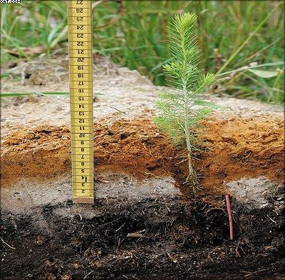 Рис. 8. Саженец ели высаживается методом заглубленной посадки