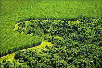 Лесная плантация компании Stora Enso