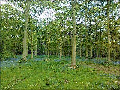Плантационная дубовая роща, Англия