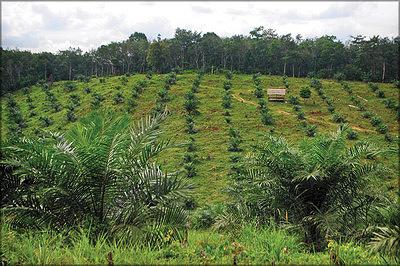 Плантация масличной пальмы. Джамби, Индонезия