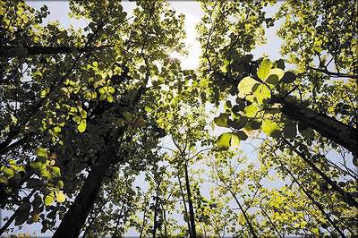 Плантация тиковых деревьев, Коста-Рика