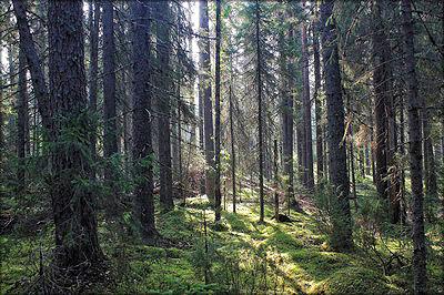 Ельник зеленомошный (фото Дениса Мирина)