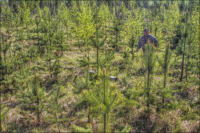 Лесные культуры АО «Монди СЛПК»