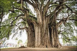 Самый толстый кипарис. Дерево Туле, Мексика