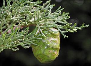 Кипарис бугорчатый