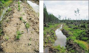 Фото 2. Культуры на влажных почвах. Успешное искусственное лесовосстановление возможно только при дополнительных затратах на осушение вырубки
