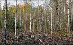 Фото 3. Рубка ухода высокой интенсивности на пробной площади в Республике Коми. Выполнен уход за осиной как единственно возможной в данном насаждении целевой породой