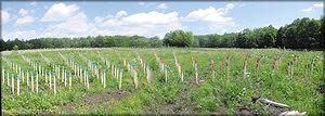 Фото 5. Схема смешанной посадки культур по Нельдеру: четверть круга, заложенного в июне 2016 года в Кайбицком лесхозе. Маркировки: голубая – дуб, красная – липа