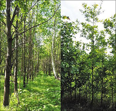 Фото 6. Молодые насаждения дуба на участках: слева – в Тетюшском лесхозе (возраст насаждений – 27 лет), справа – в Кайбицком лесхозе (10 лет), май-июнь 2016 года