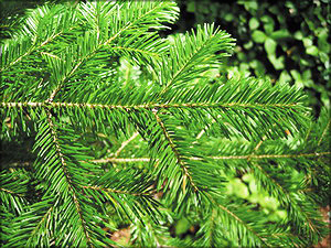 Пихта сахалинская (Abies sachalinensis F. Schmidt)