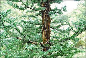 Пихта чешуйчатая (Abies squamata Mast.)