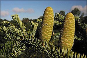 Пихта цельнолистная (Abies holophylla Maxim.)