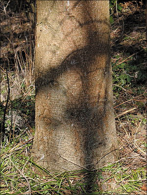 Пихта шенсийская (Abies chensiensis Tiegh.)